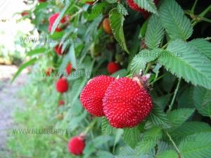 No.1 Rubus illecebrosus клубничная малина