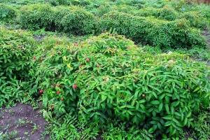 Rubus illecebrosus клубничная малина