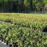 No.3 blueberry саженцы садовой черники