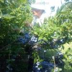 No.4 blueberry черника vaccinium corymbosum