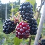 Black Satin Rubus Fruticosus Aedmurakas ehk pampel
