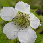 Rubus illecebrosus maasikvaarikas
